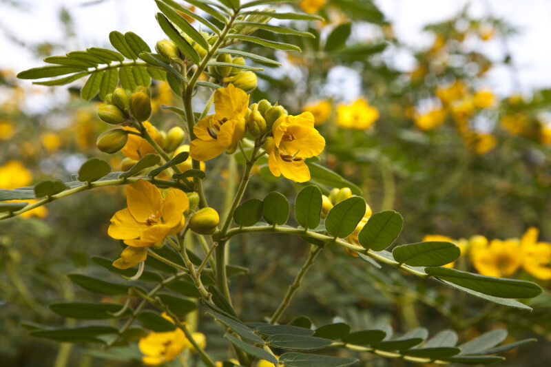 Downy Senna Branch