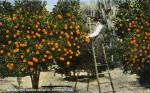Dr. Garnett's Orange Grove