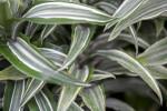 Dracaena Fragrans Leaves