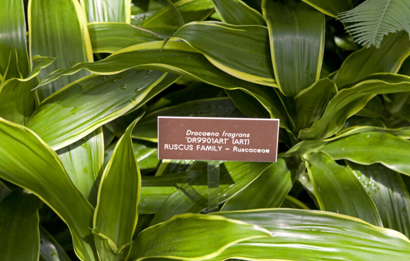 Dracaena Fragrans Leaves