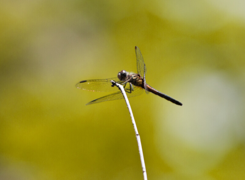 Dragonfly Resting on Top of Bare Branch