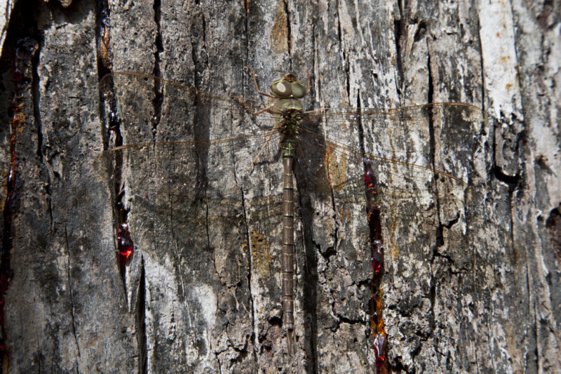 Dragonfly Resting on Trunk of Tree with Dripping Sap