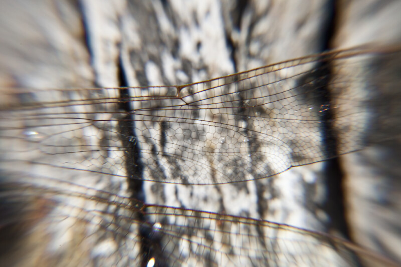 Dragonfly Wing Close-Up