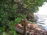 Driftwood and Mangroves