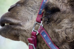 Dromedary and Bridle