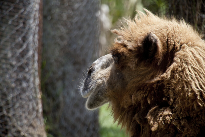 Dromedary Looking Away