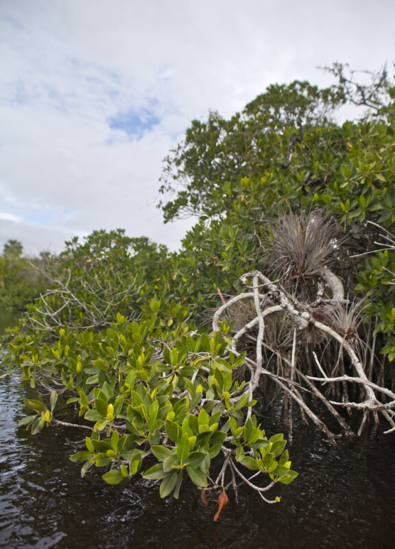 Drooping Mangrove Branches Hovering Above Halfway Creek at Everglades National Park