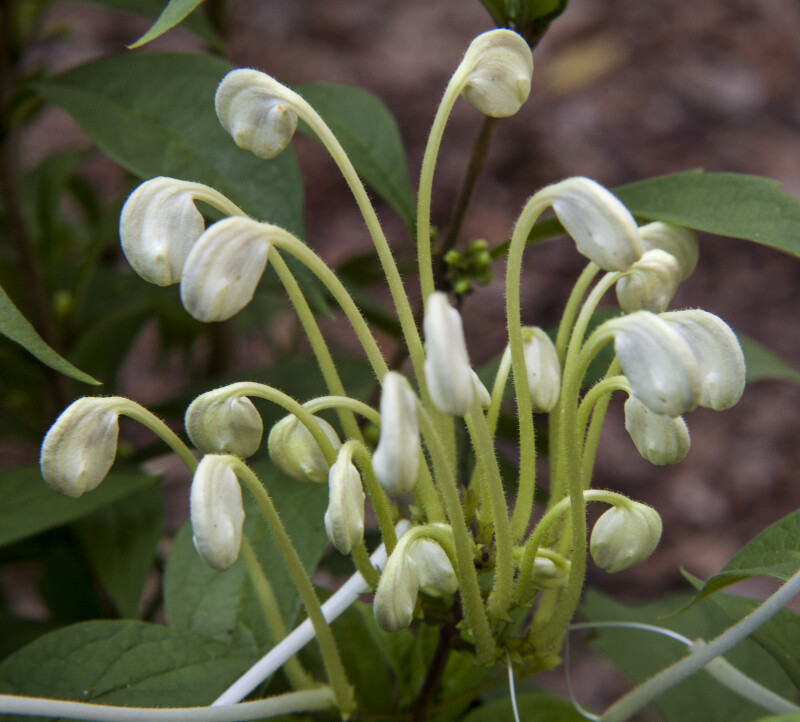 Drooping 'Musical Notes 'Clerodendrum Flower