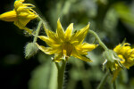 Drooping Yellow Tomato Blossoms and Hairy Buds