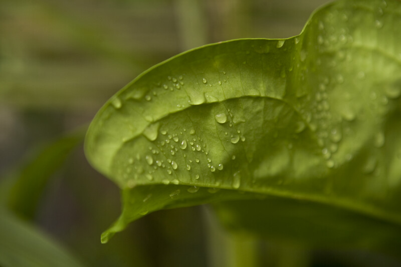 Droplets of Water on Leaf