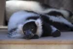 Drowsy Lemur at the Sacramento Zoo
