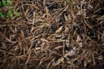Dry, Brown Redwood Leaves