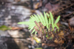 Dry Fern Leaves with Brown and Black Coloring