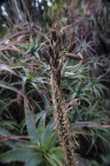 Dry Flowering Stalk of a Succulent Plant with a Few Supple Buds