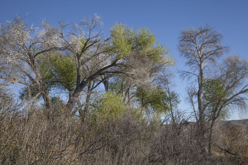 Dry Trees Growing Along the Chihuanhuan Desert Trail of Big Bend National Park