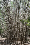 Dry, Upright, Tall Bamboo
