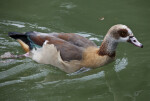Duck at Hellabrunn Zoo
