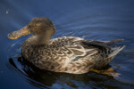 Duck on Pond