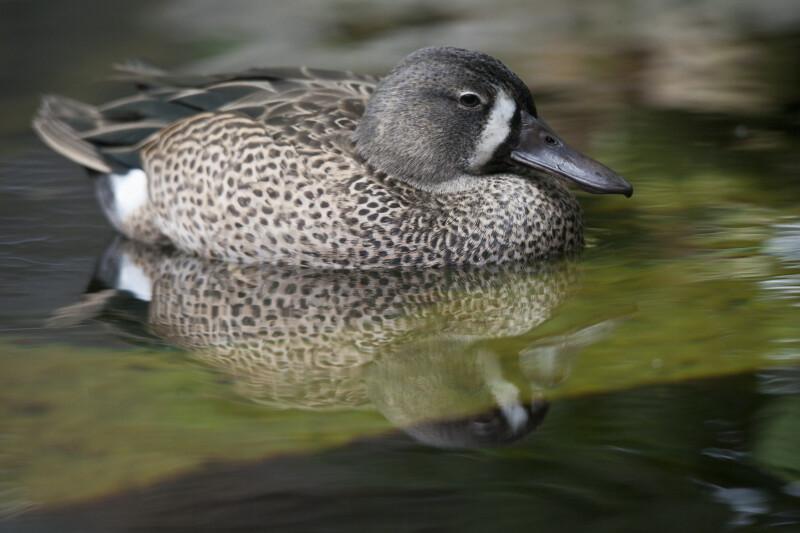 Duck Swimming in Water at the Florida Aquarium