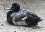 Duck with Black and Grey Feathers Resting in Sand