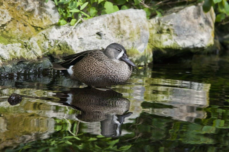 Duck with Dark Coloring Standing in Water