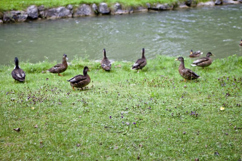 Ducks at Englischer Garten