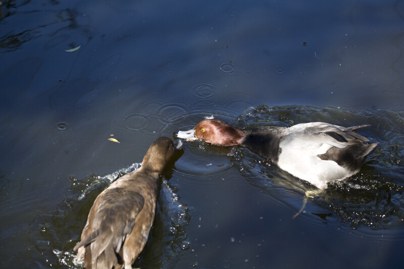 Ducks Going for Food