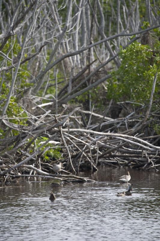 Ducks Near the Shore