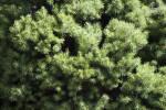 Dwarf Alberta Spruce Detail