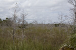 Dwarf Bald Cypress Forest in Everglades