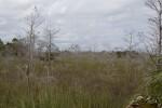 Dwarf Bald Cypress Forest in Everglades