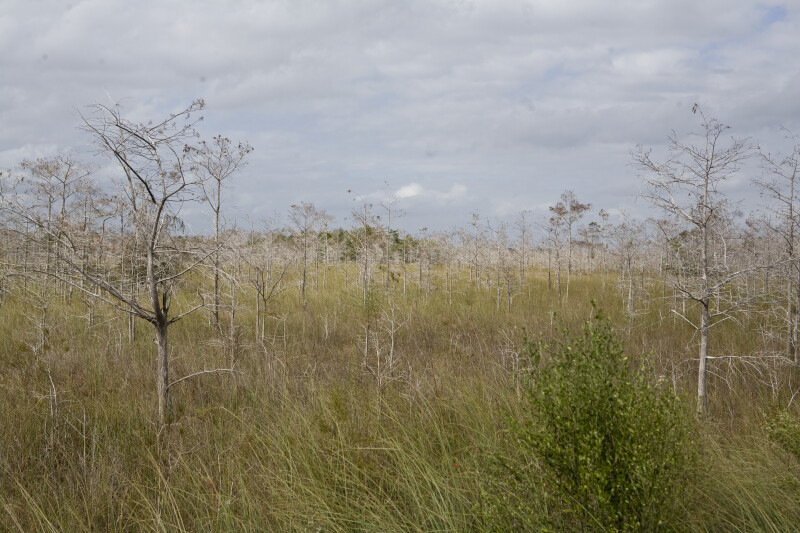 Dwarf Bald Cypress Forest