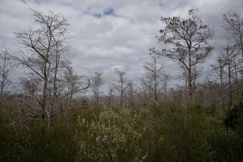 Dwarf Bald Cypress in the Everglades