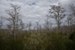 Dwarf Bald Cypress in the Everglades