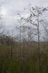 Dwarf Bald Cypress in the Sawgrass