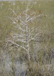 Dwarf Bald Cypress in Water