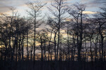 Dwarf Bald Cypress Trees at Dusk