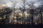 Dwarf Bald Cypress Trees at Dusk