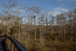 Dwarf Bald Cypress Trees on Side of Boardwalk