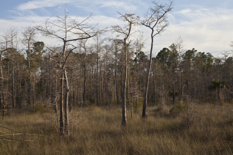 Dwarf Bald Cypress Trees with Thin Trunks and Bare Branches