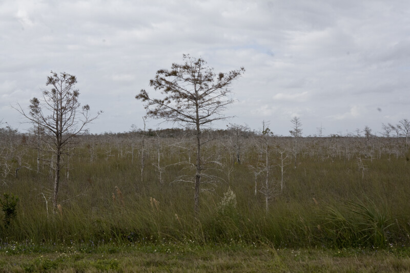 Dwarf Bald Cypresses in Everglades