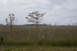 Dwarf Bald Cypresses in Everglades