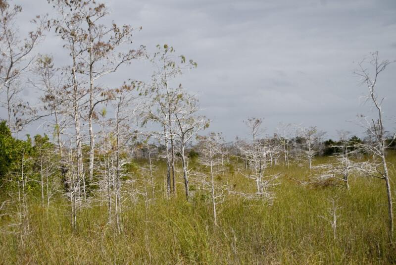 Dwarf Bald Cypresses in the Sawgrass