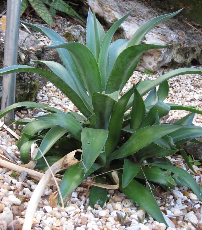 Dwarf Century Plant