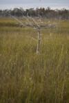 Dwarf Cypress Tree in Sawgrass