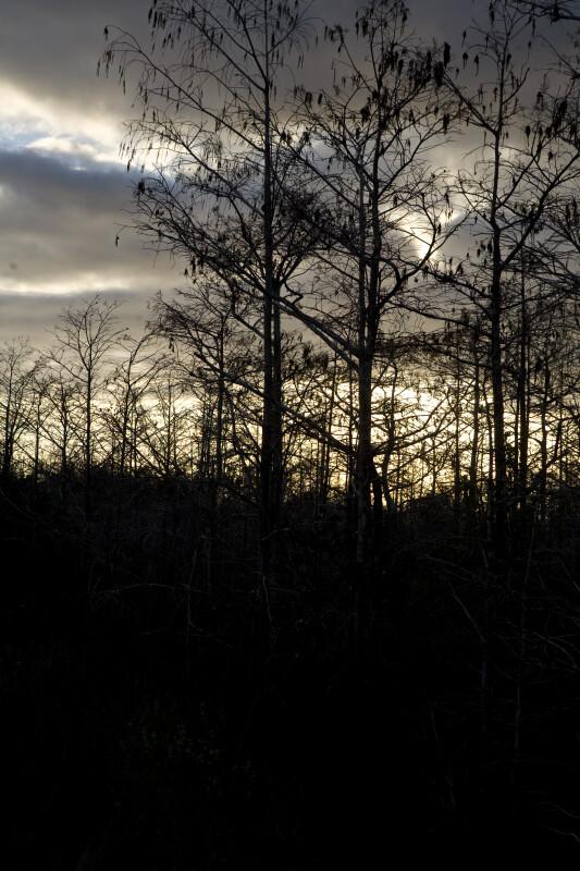 Dwarf Cypresses at Sunset