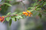 Dwarf Firebush Flowers