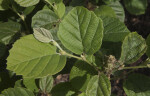 Dwarf Fothergilla Leaves
