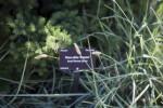 Dwarf Norway Spruce Branch