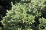 Dwarf Norway Spruce Close-Up
